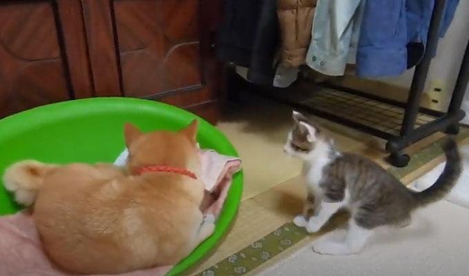 今日は子猫と柴犬の超癒し動画!