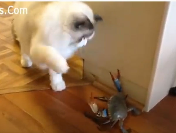 爆笑必至!猫ちゃんの可愛いハプニング動画!